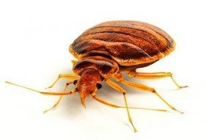 Bed bug epidemic