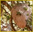wasp-nest-tree
