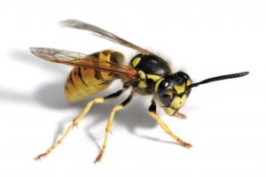 Wasps coming out of chimney | Pest UK