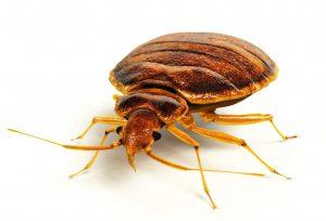 Bracknell bedbugs