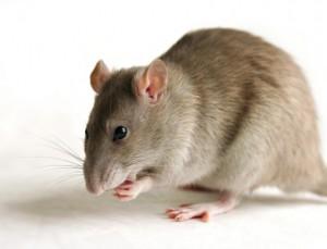 Shepperton rats
