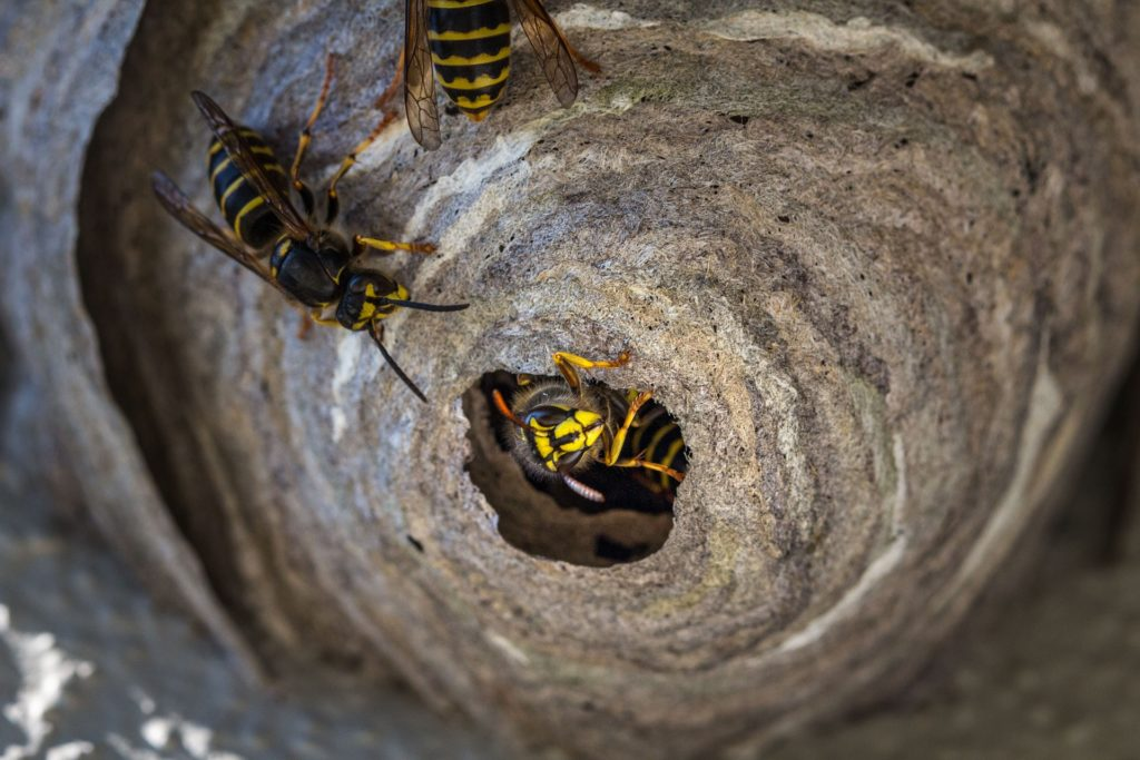 wasp 3430995 1920 1024x683 - How To Get Rid Of Wasp Nest In Roof Tiles