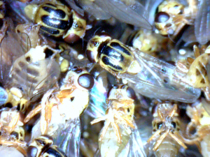 Small Yellow Cluster Fly