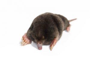 Mole 2
