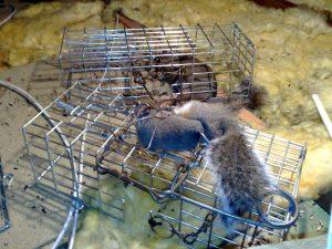 Squirrel caught in trap