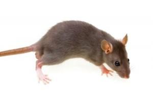 Lambourn Ealing rats and mice