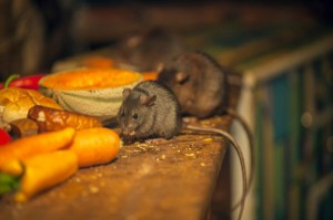 Mice feeding in a kitchen