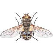 Cluster flies