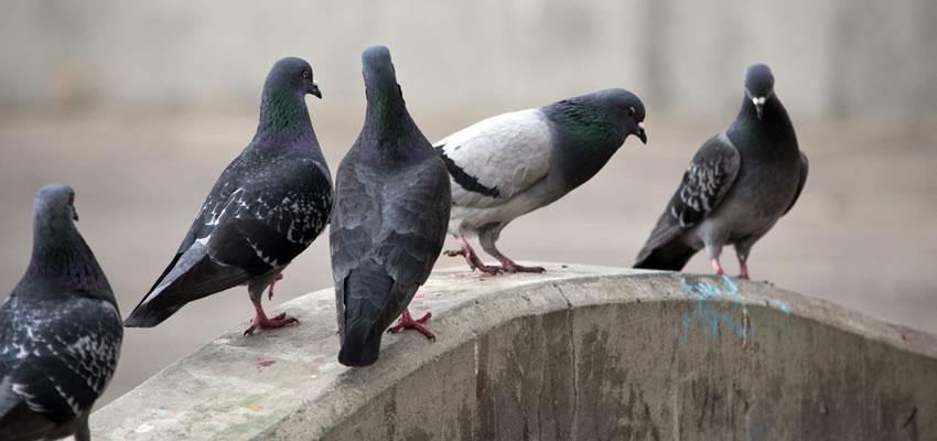Pigeons Under Solar Panels
