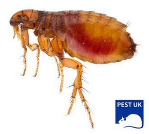 Fleas in Borehamwood