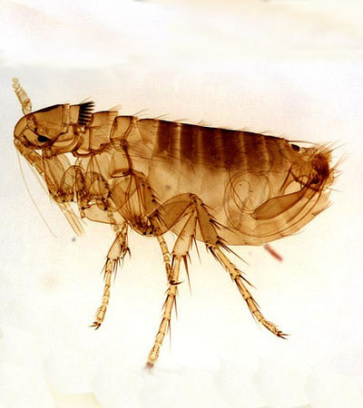 Get Rid Of Flea Problems | Flea Removal Specialists