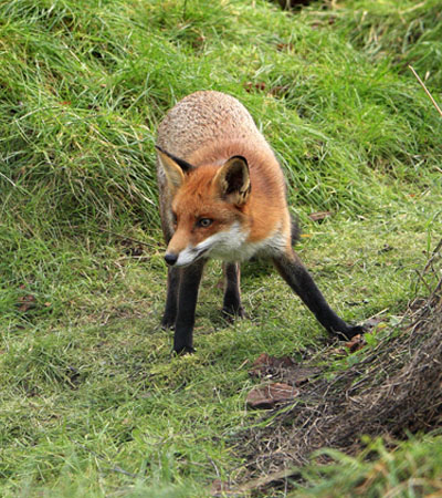 Get Rid Of Fox Problems | Fox Removal Specialists