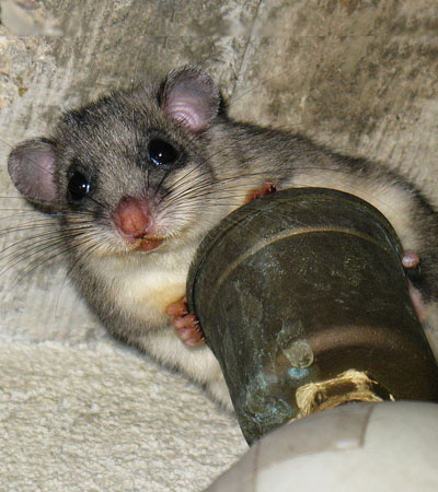 The Glis Glis Or Edible Dormouse