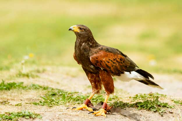 Get Rid Of Bird Problems Hawking With Birds Of Prey Pest Uk