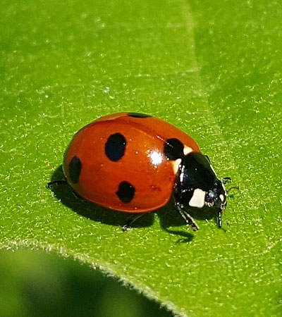 Get Rid Of LadyBird Problems | Harlequin Ladybirds Removal Specialists