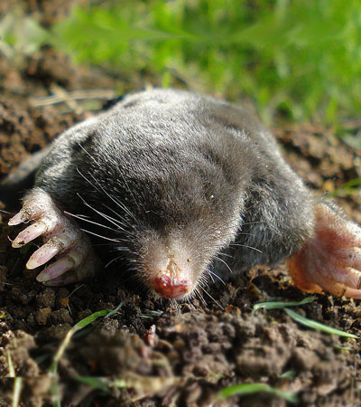 Get Rid Of Mole Problems | Mole Removal Specialists