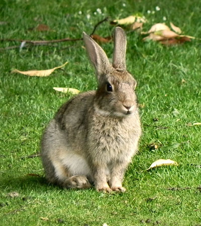 Get Rid Of Rabbit Problems | Rabbit Removal Specialists