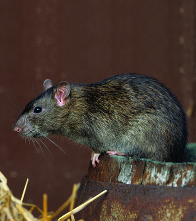 Get Rid Of Rat Problems | Rat Removal Specialists