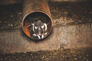 Rats in Harrow