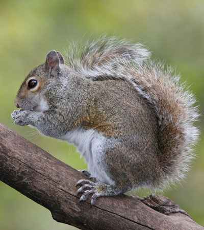 Get Rid Of Squirrel Problems | Squirrels Removal Specialists