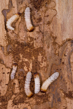 how to get rid of woodworm naturally