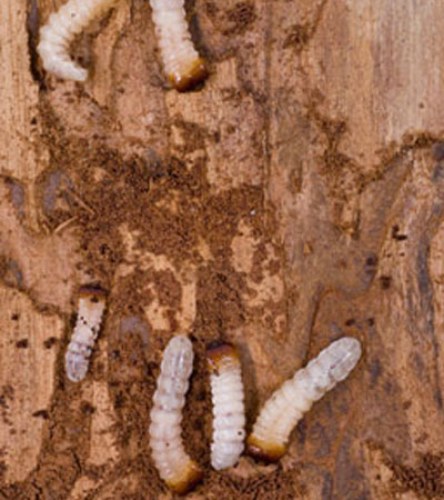 Get Rid Of Woodworm/Furniture Beetle Problems | Woodworm Removal Specialists