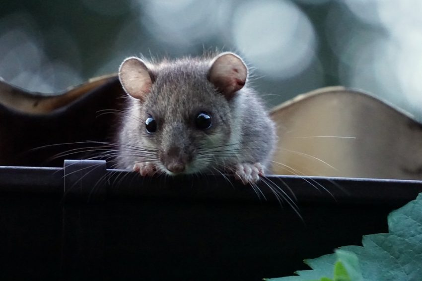 Glis Glis: The Unwelcome Guest This Winter