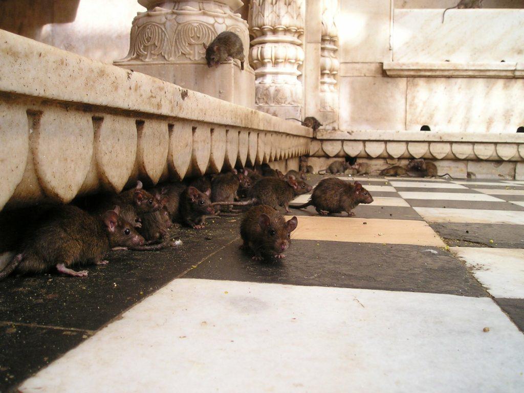 rat lockdown