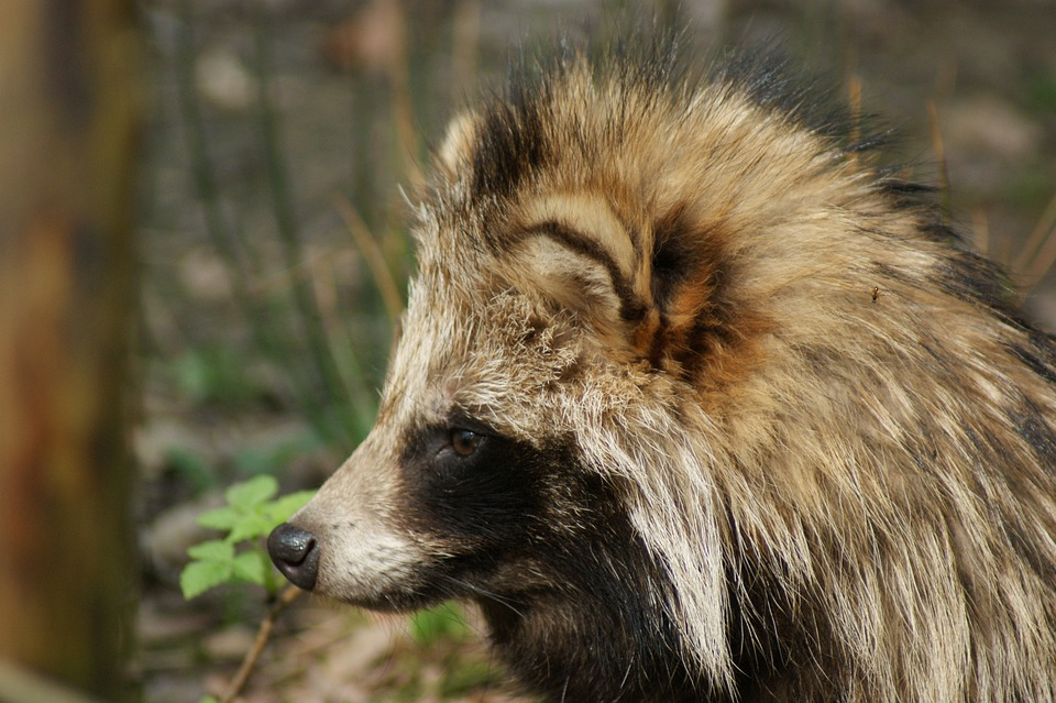 a raccoon dog staring into the distance