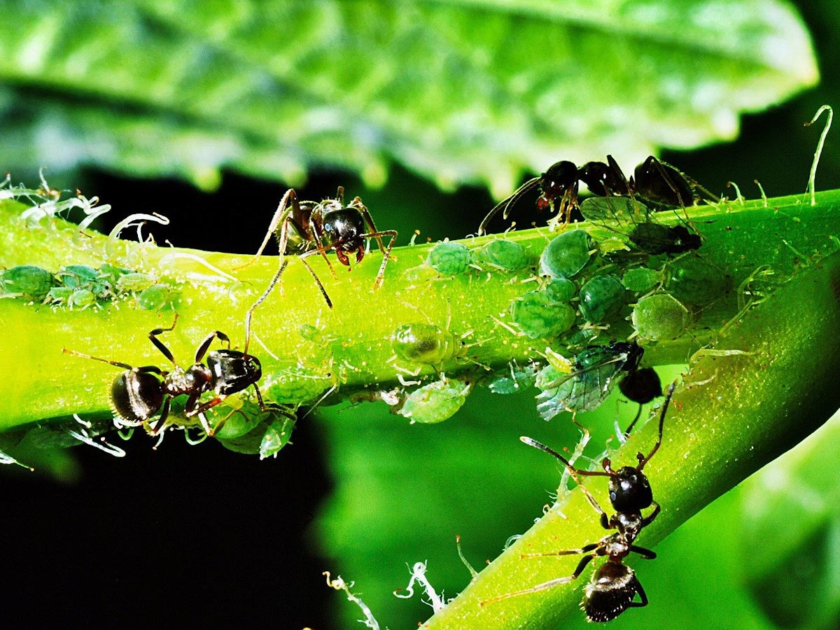 How Do Ants Farm Aphids? | Ants Help Aphids To Destroy Garden Plants