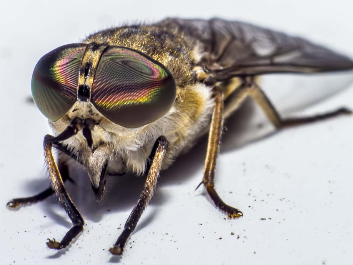 A Horsefly Bite is Very Painful | How Can I Get Rid of Horseflies?