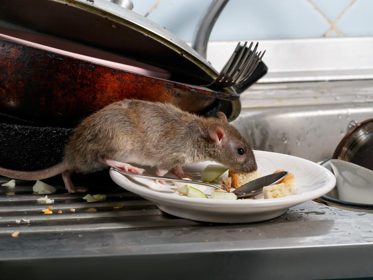 Starving Rats Forced to Move Out of Town Centres by Covid Lockdown