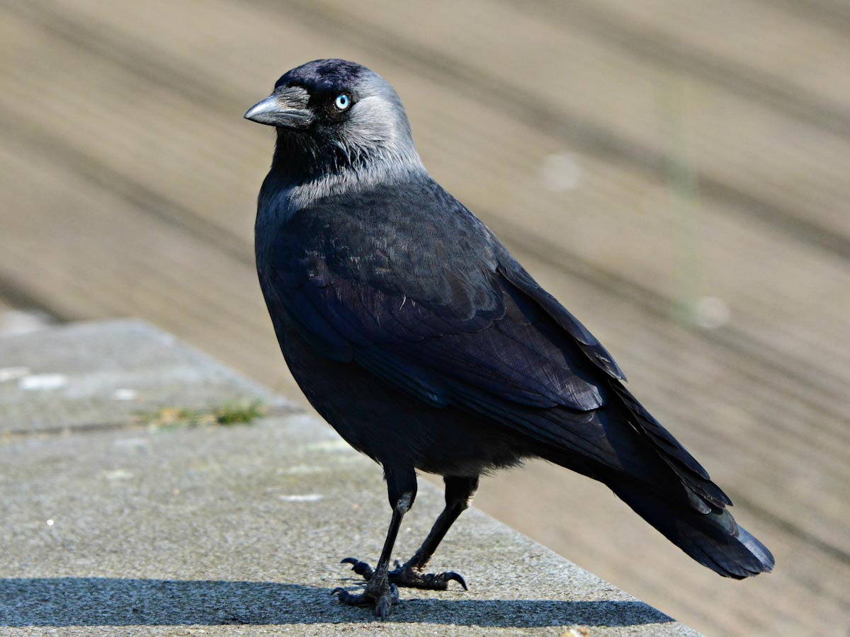 Jackdaw Rescued After Falling Down Chimney